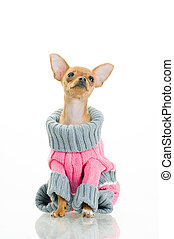 chihuahua, pies, w, sweter