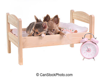 Chihuahua puppies lying in a bed with alarm-clock