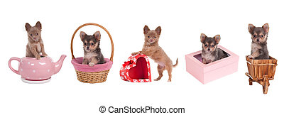 Chihuahua puppies with different accessories (gift boxes, cart, basket, pink tea pot) isolated on white background