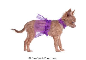 Chihuahua puppy ballerina