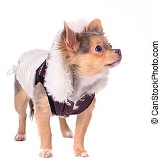 Chihuahua puppy dressed in coat for cold weather, isolated on white