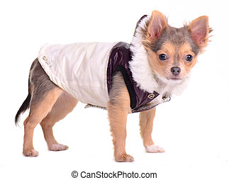 Chihuahua puppy dressed in coat for cold weather, sisolated on white