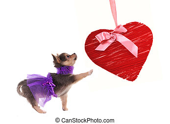 Chihuahua puppy dressed in glamour style playing with red heart