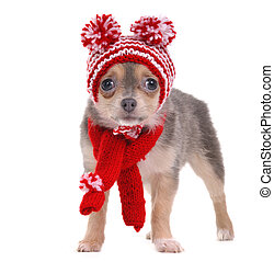 Chihuahua puppy dressed in red and white striped funny hat and scarf