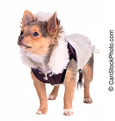 Chihuahua puppy dressed in trendy coat, looking aside