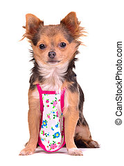 Chihuahua puppy dressed with apron like cook chief, isolated