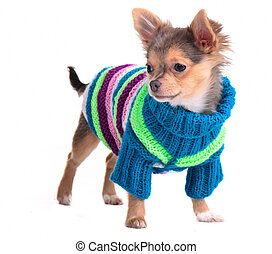 Chihuahua puppy dressed with colorful sweater and hat, standing, looking aside