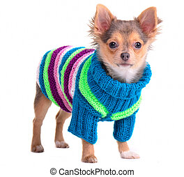 Chihuahua puppy dressed with colorful sweater and hat, standing, looking at camera