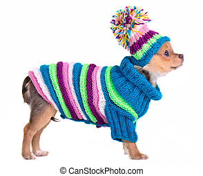 Chihuahua puppy dressed with handmade colorful sweater and hat, isolated on white