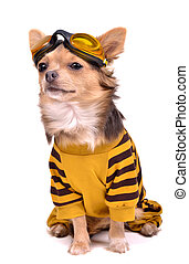 Chihuahua puppy dressed with suit and goggles