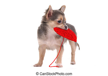 Chihuahua puppy holding red heart isolated on white background