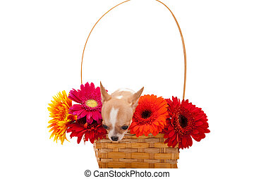 Chihuahua puppy in a basket with flowers