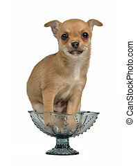 Chihuahua puppy in a blue glass vase