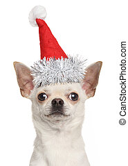 Chihuahua puppy in Christmas red hat
