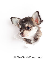 chihuahua puppy in paper