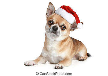 Chihuahua puppy in xmas red cap
