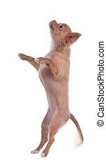 Chihuahua puppy jumping