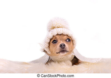 Chihuahua puppy looking wearing white hat and scarf, lying on white fluffy fur
