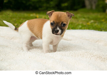 chihuahua puppy on a blanket in the grass