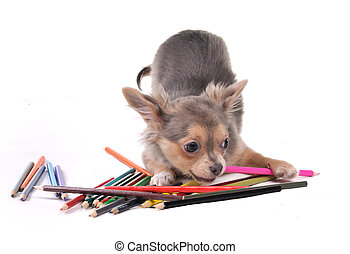 Chihuahua puppy playing with colorful pencils isolated on white