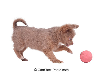 Chihuahua puppy playing with pink ball