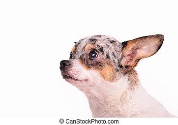 Chihuahua puppy portrait
