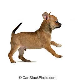 Chihuahua puppy running