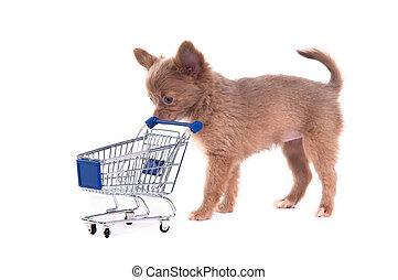 Chihuahua Puppy shopping