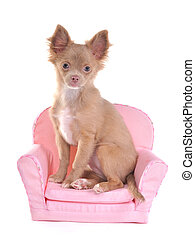 Chihuahua puppy sitting in a pink armchair