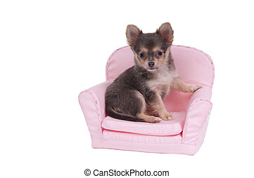 Chihuahua puppy sitting in pink armchair isolated on white background