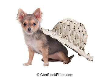 Chihuahua puppy sitting under a palm hat
