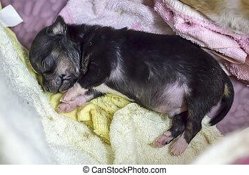 Chihuahua puppy sleeps