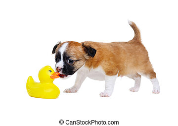 Dog Sniffing Duck English Bulldog Bent Down Smelling A