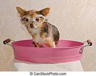 Chihuahua puppy taking a bath wearing goggles sitting in pink bathtub