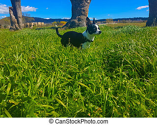 Chihuahua puppy walks in the tall grass