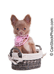 Chihuahua puppy wearing pink necklace sitting in basket