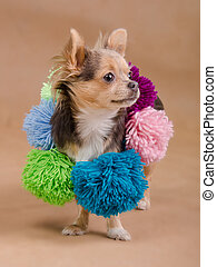 Chihuahua puppy wearing scarf with pompons