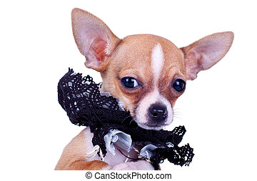 Chihuahua puppy with black collar