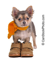 Chihuahua puppy with boots and scarf