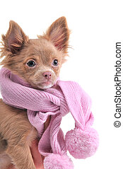 Chihuahua puppy with pink scarf portrait