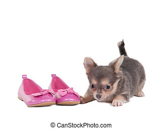 Chihuahua puppy with pink shoes