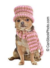 Chihuahua puppy with scarf and hat