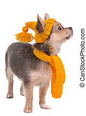 Chihuahua puppy with yellow funny hat and scarf isolated on white background