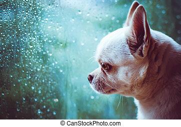 Chihuahua sad dog at the window - sad Chihuahua dog looks at...