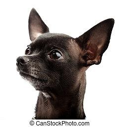 chihuahua, schwarz