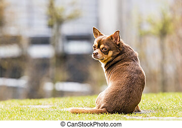 chihuahua sitting in the grass