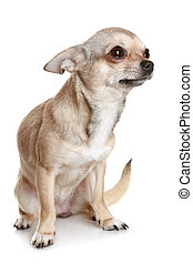 Chihuahua Sitting Upright On White