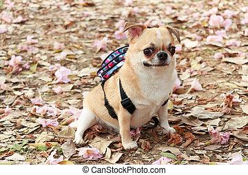 Chihuahua, small dog.