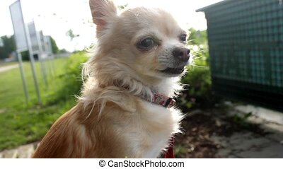 Chihuahua smelling something and sneezes