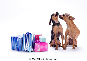 Chihuahua, toy-terrier anf Christmas gifts.